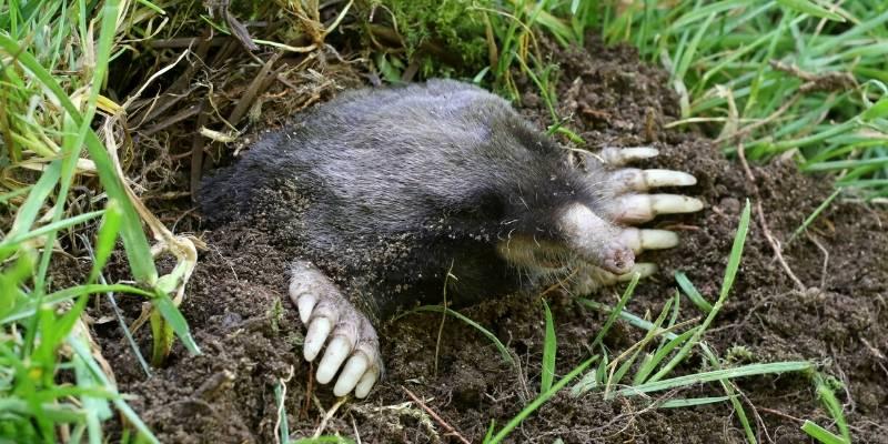 mole pest control seattle