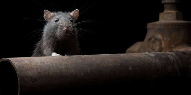 rodent control seattle